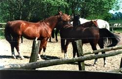 Pferde auf Gut Hasenthal, Foto 1988